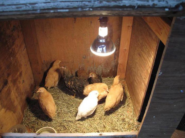 Инфракрасный обогрев для курятника – находка для птицеводов, обеспечивающая комфортные условия для кур в зимний период