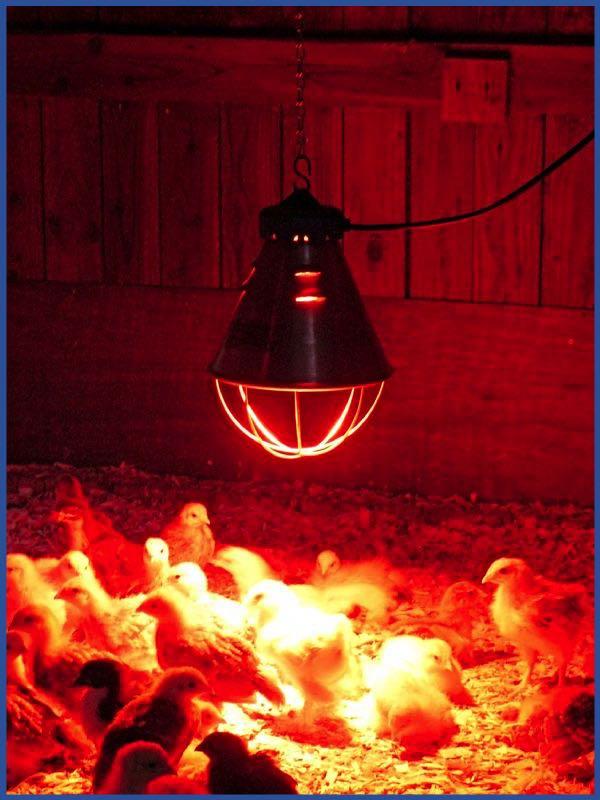 Инфракрасные лампы для обогрева курятника (обогреть): освещение красными лампами, с реле времени, какой мощности нужны