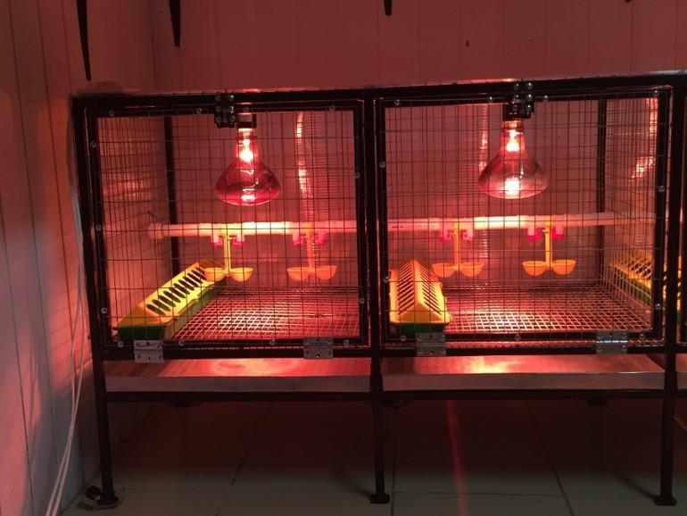 Правильное содержание и обогрев цыплят инфракрасной лампой