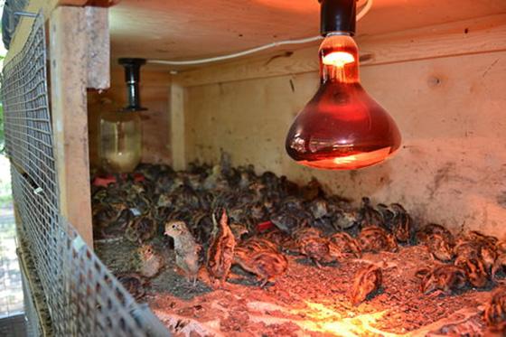 Инфракрасные лампы как выбрать и установить в курятнике