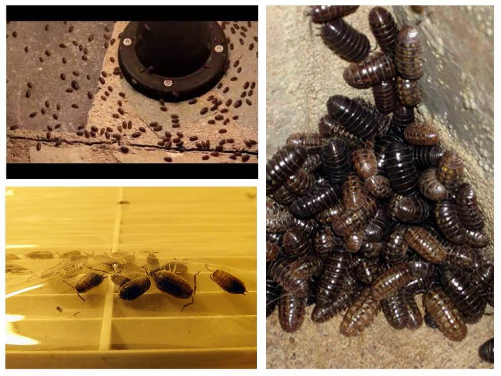 Мокрица в ванной комнате  и туалете: как избавиться от домашних насекомых самим и вывести их народными средствами, как бороться с помощью химикатов, а также фото